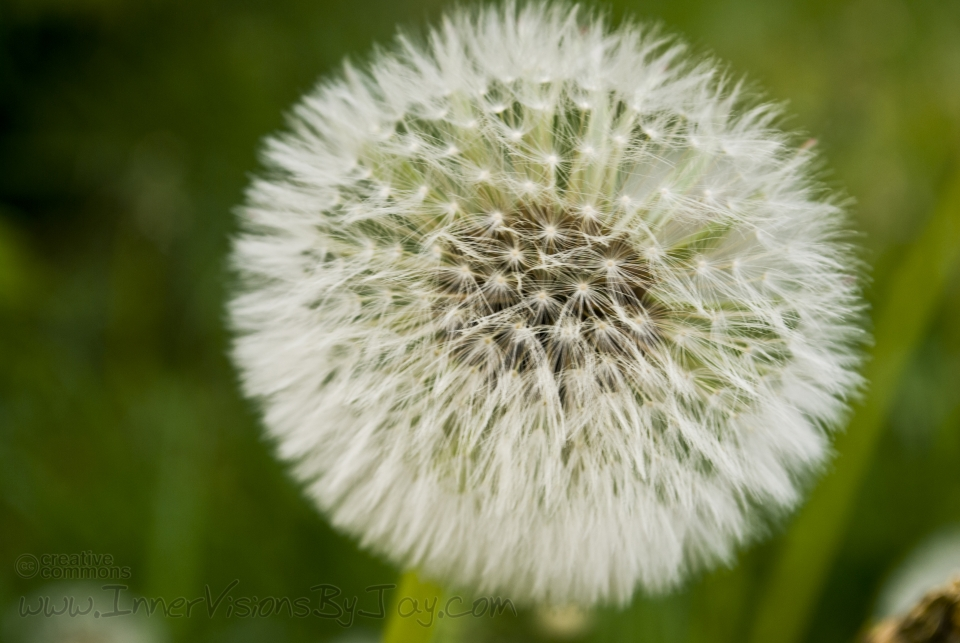 Close-up of a dandelion in full bloom