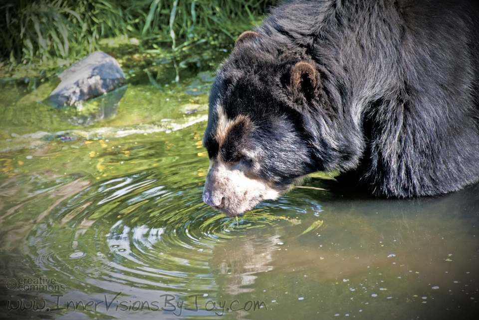 Grizzly bear stopping for a drink at the water hole