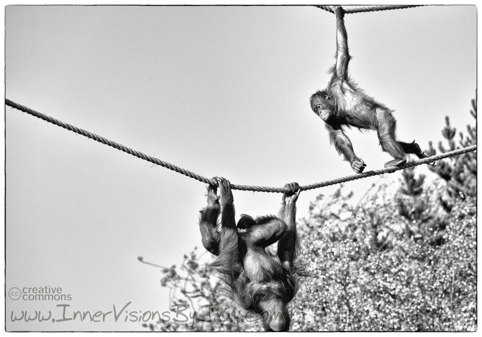 Primates playing chase on a pair of ropes