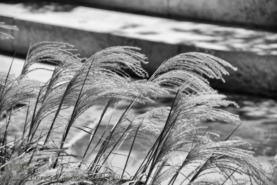 Fuzzy grass blowing in the wind in black and white